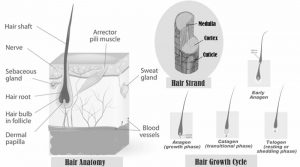Know about Hair as hair anatomy, hair growth cycle and hair strand parts