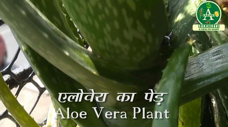 Plant of Aloe Vera for hair loss treatment!