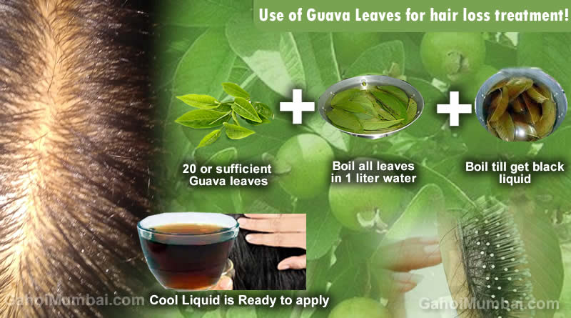 Information about Use of Guava Leaves for hair loss treatment